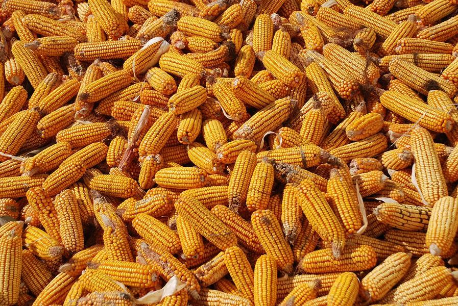K800 corn 698195 1280 300x201 - Mais -